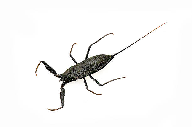 Woda Scorpionidae na białym tle – zdjęcie
