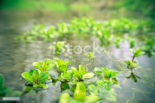 istock Water seaweed plants in river 668956020