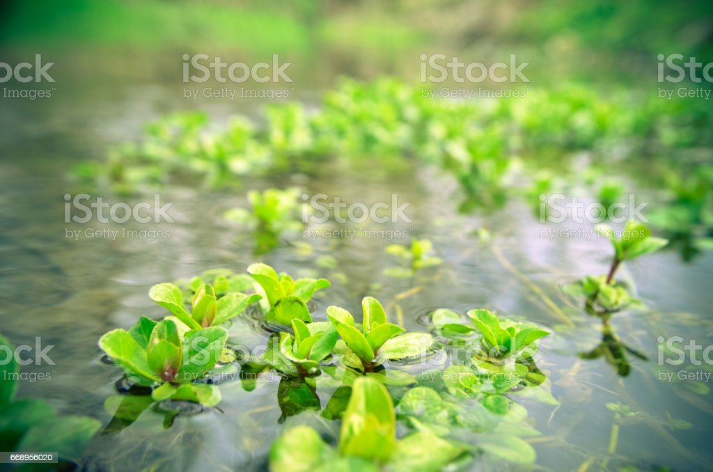 Water seaweed plants in river stock photo
