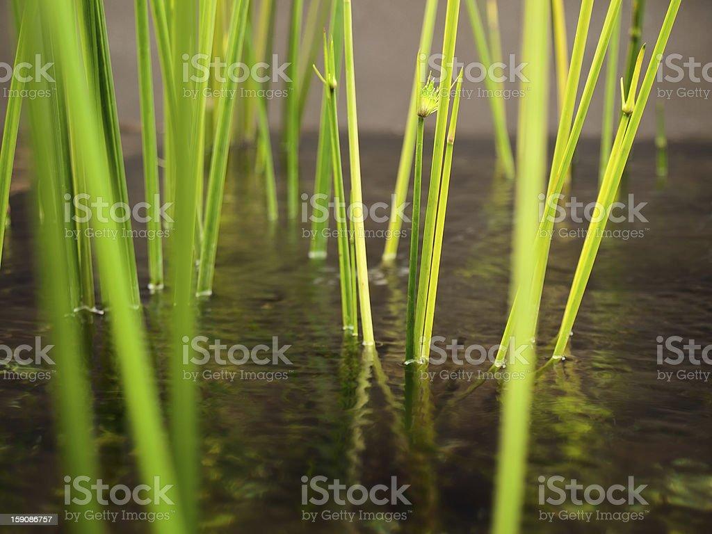Water sedge stock photo