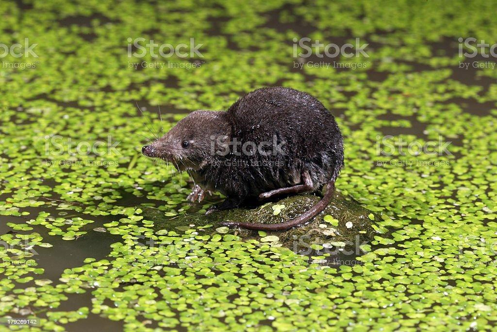Water shrew, Neomys fodiens stock photo