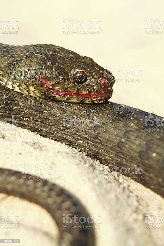 Water snake stock photo