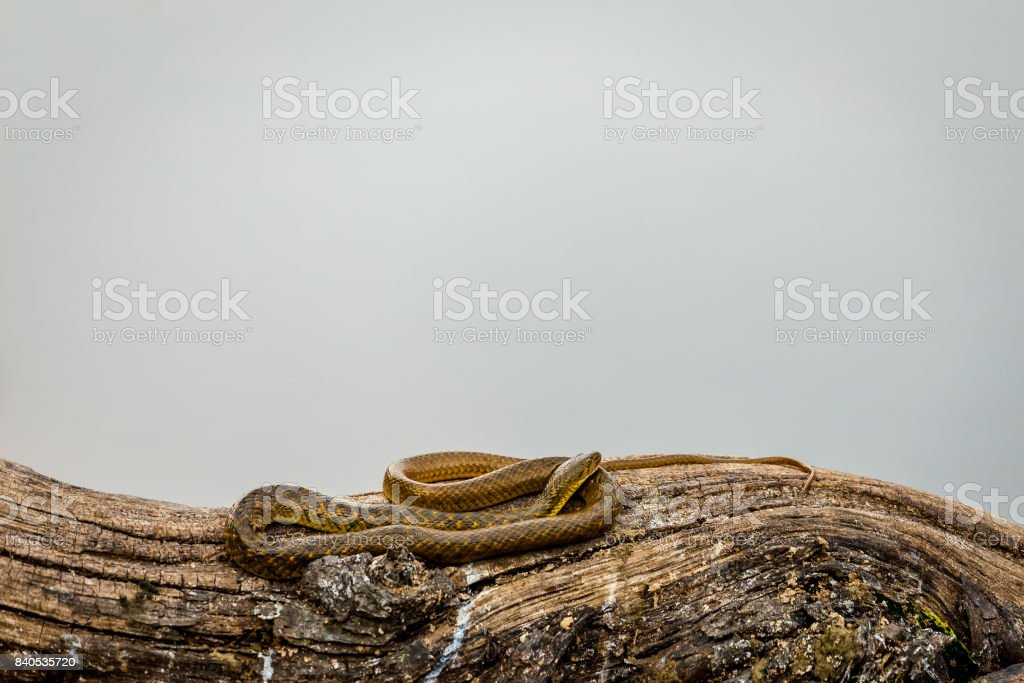 Water snake resting near lake on a tree footer image stock photo
