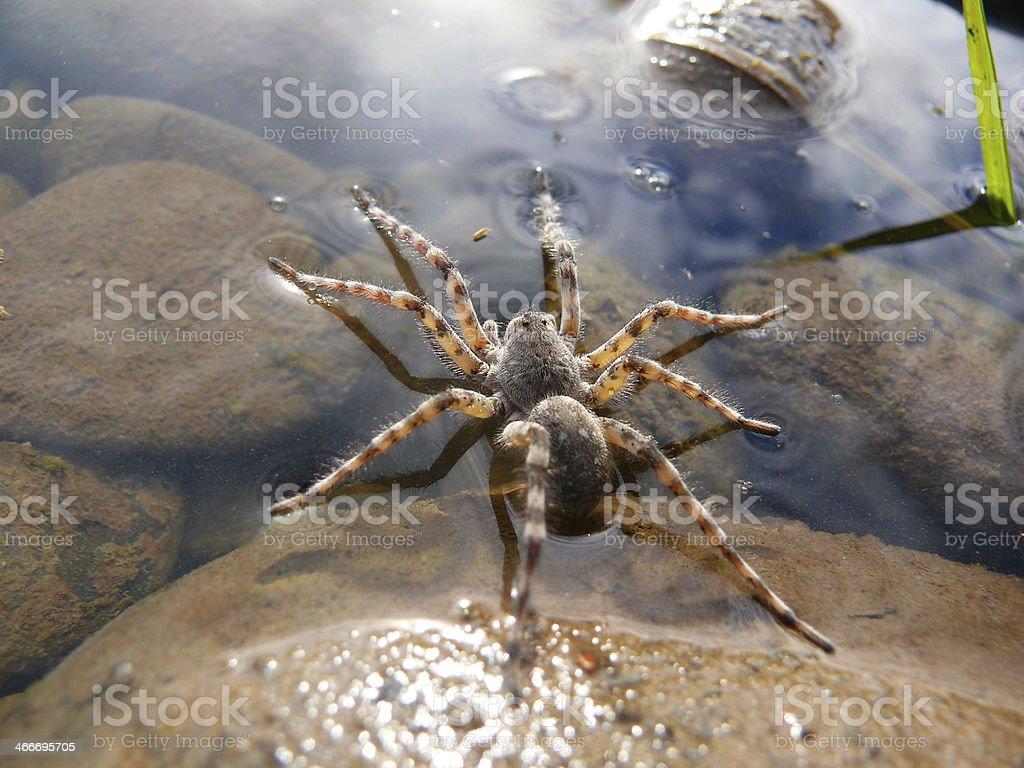 Water spider stock photo
