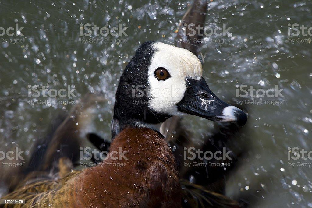 Water splash around duck stock photo