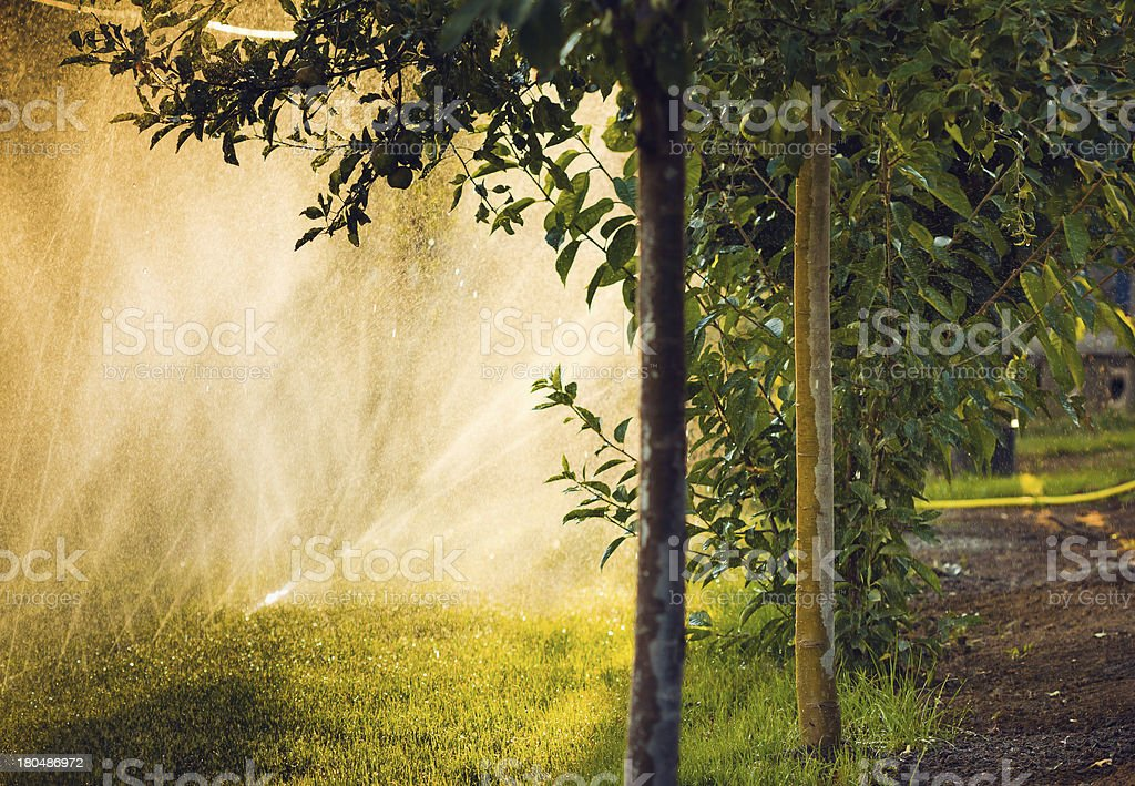 Water sprayed apple trees royalty-free stock photo