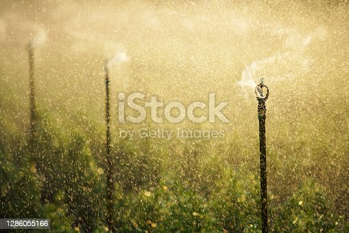 spraying water sprinkler watering plant in farm against sunset light