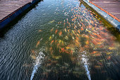 Water streaming with colorful koi fish swimming in pond