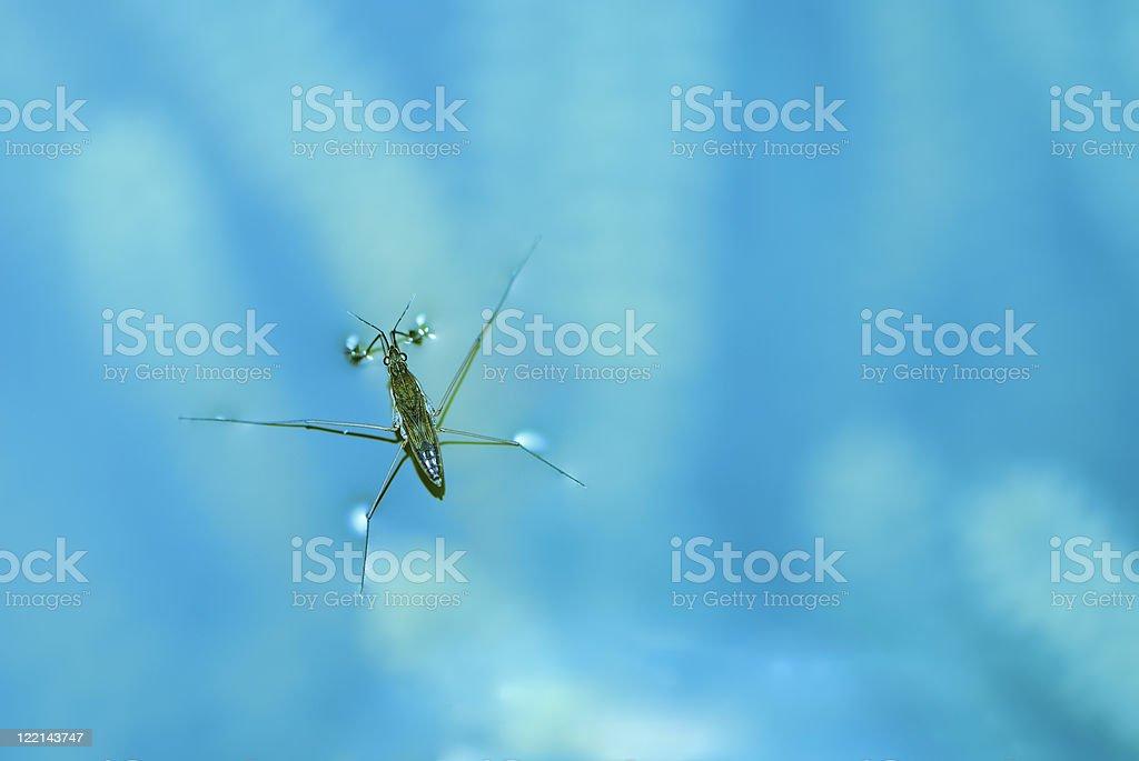 Water strider stock photo