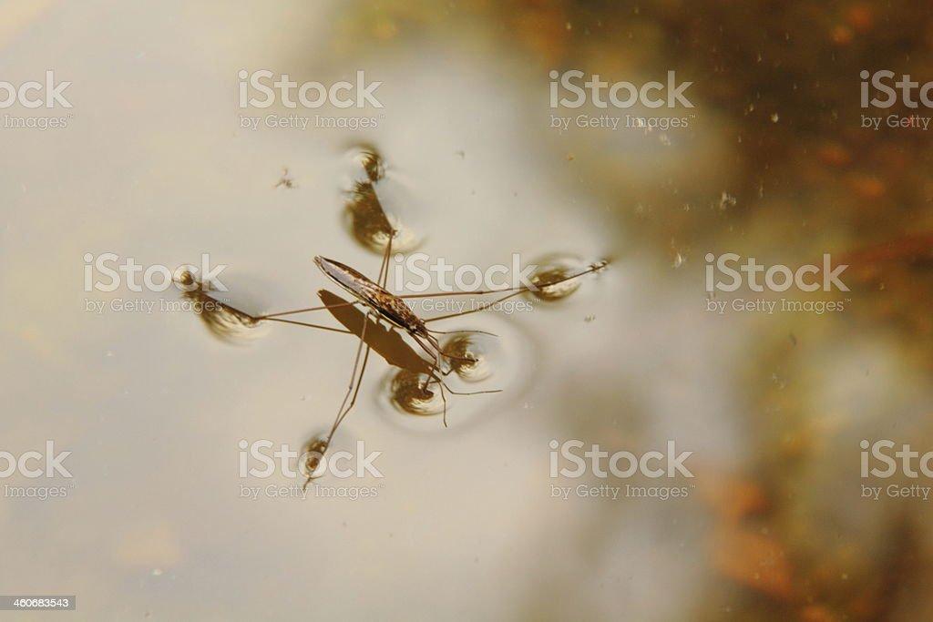 Water strider. stock photo