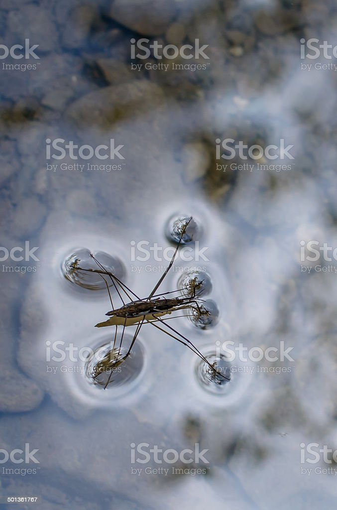 Water Strider Running on Water Surface stock photo