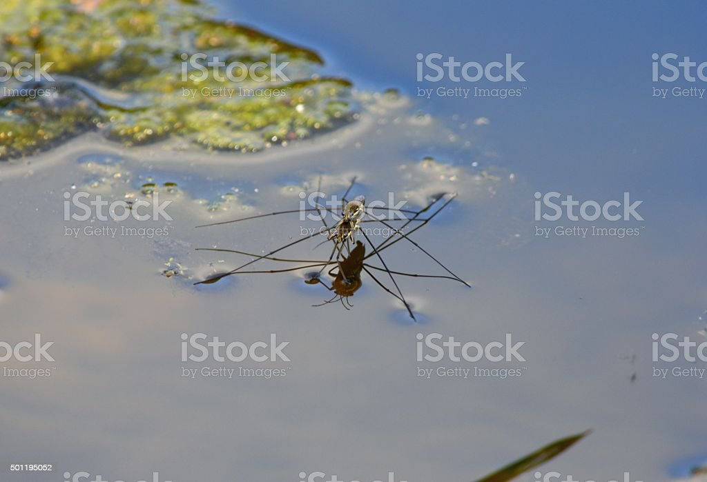Water Striders stock photo