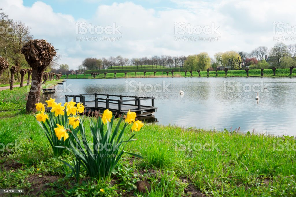 water, swan, daffodil and pollard willow in fortified city Geertruidenberg, The Netherlands stock photo