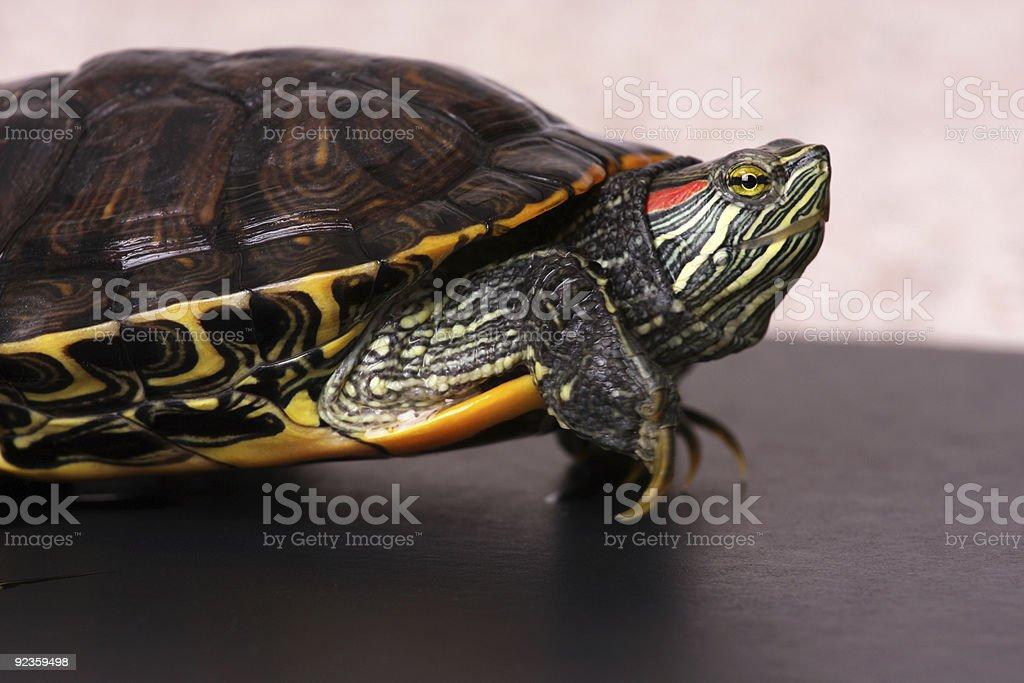 Water Turtle stock photo