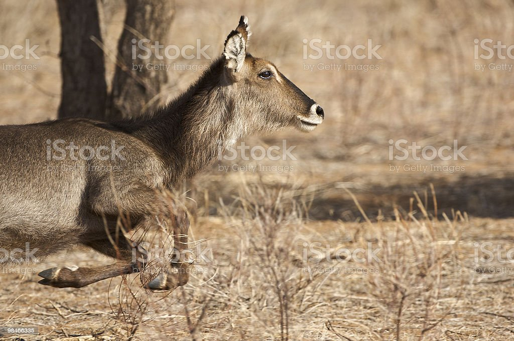Waterback in race royalty-free stock photo
