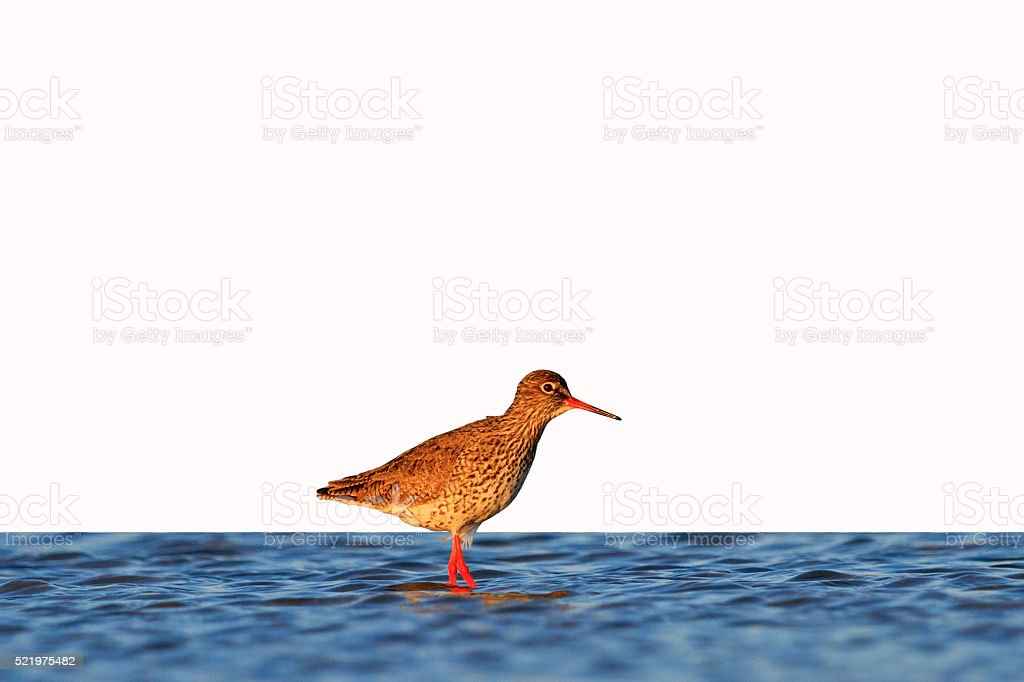 waterbirds isolated on white stock photo