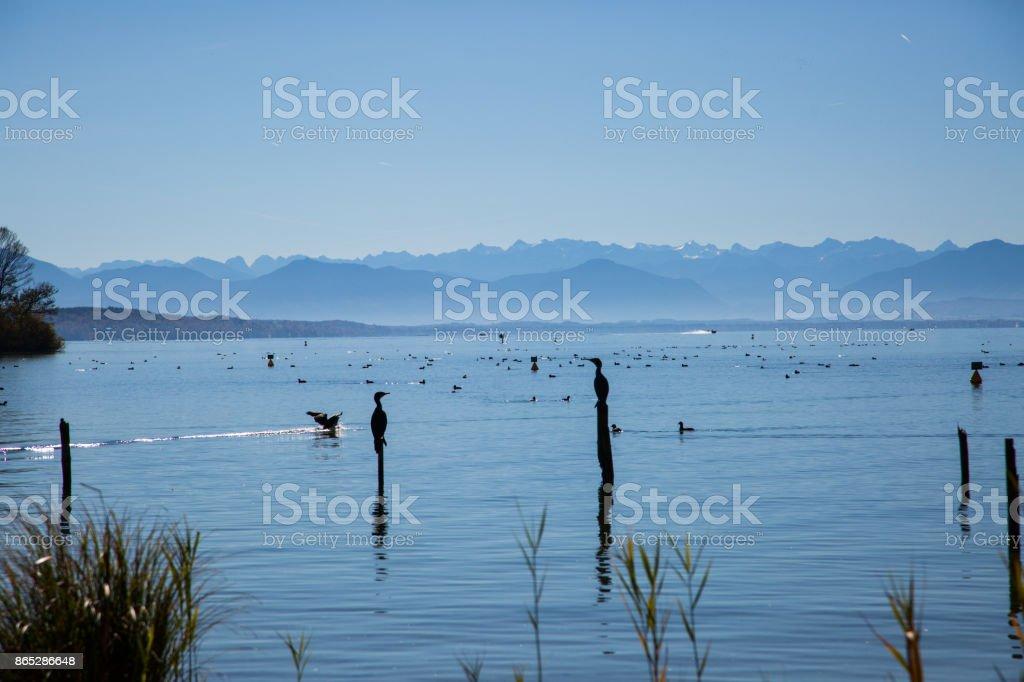 waterbirds on starnberg lake, bavaria, autumn stock photo