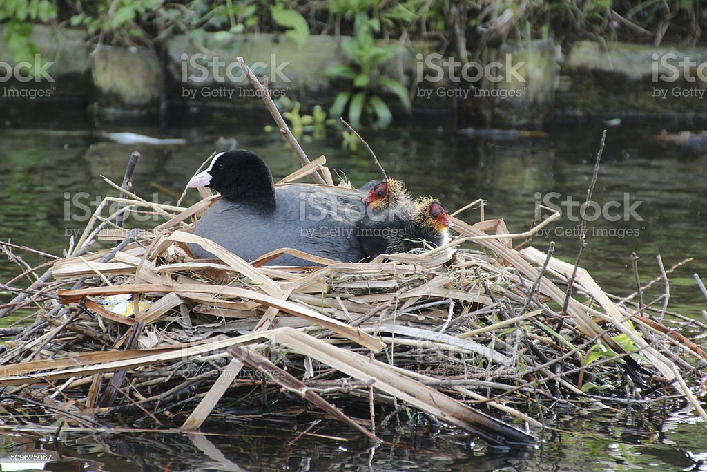 Waterbirds with there baby's stock photo