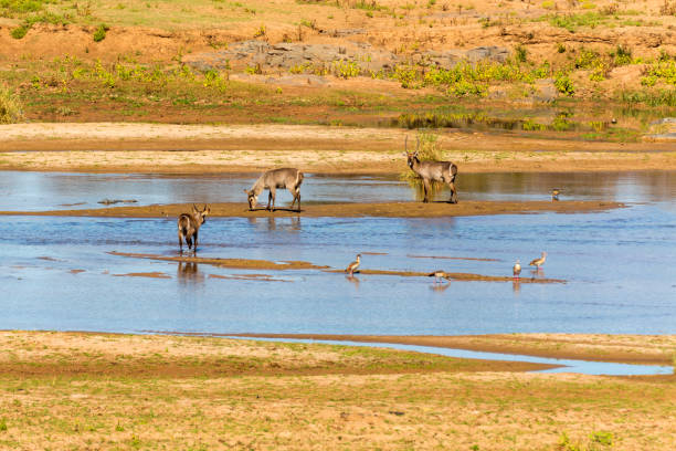 waterbuck and geese in the river - hippo tail stock photos and pictures