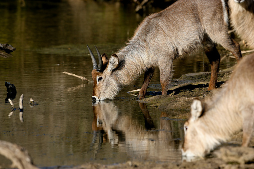 Waterbuck at a watering hole