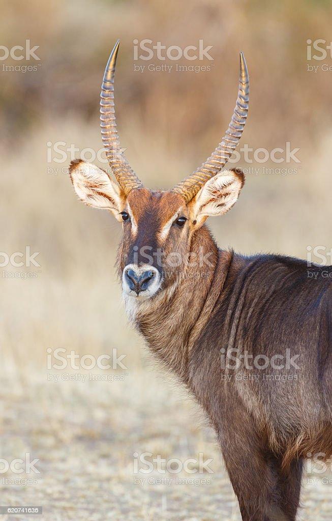 Waterbuck at Serengeti National Park, Tanzania Africa stock photo