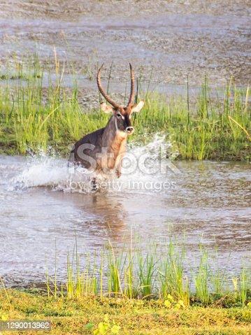 istock Waterbuck Bull leaping through the water 1290013962