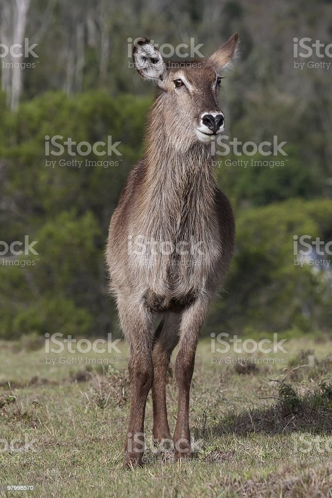 Waterbuck Female royalty free stockfoto