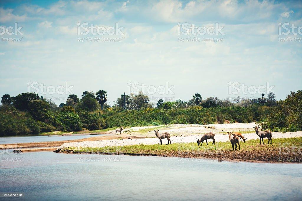 Waterbuck Herd By the Lake stock photo