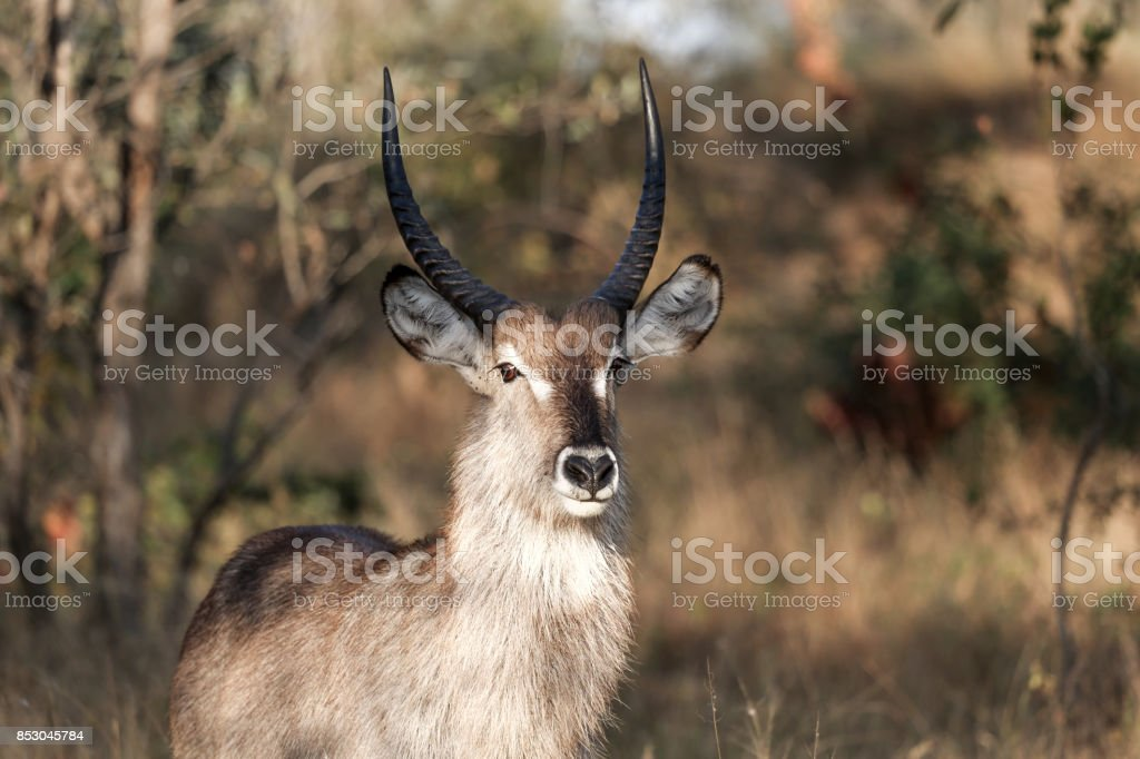 Waterbuck in Kruger National Park, South Africa stock photo