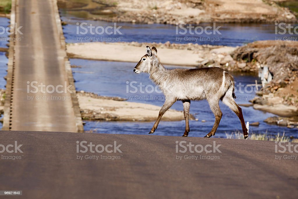 Waterbuck in Kruger Park, South Africa royalty-free stock photo
