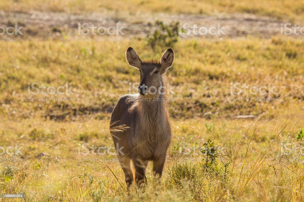 waterbuck in savannah in Kruger Park stock photo