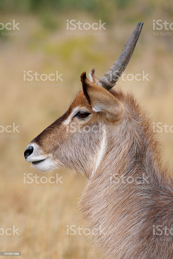 Waterbuck portrait royalty-free stock photo
