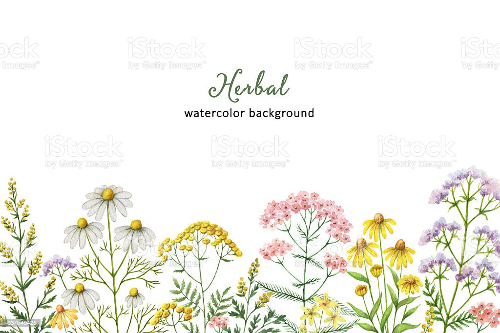 Watercolor banner with medical plants. – Foto