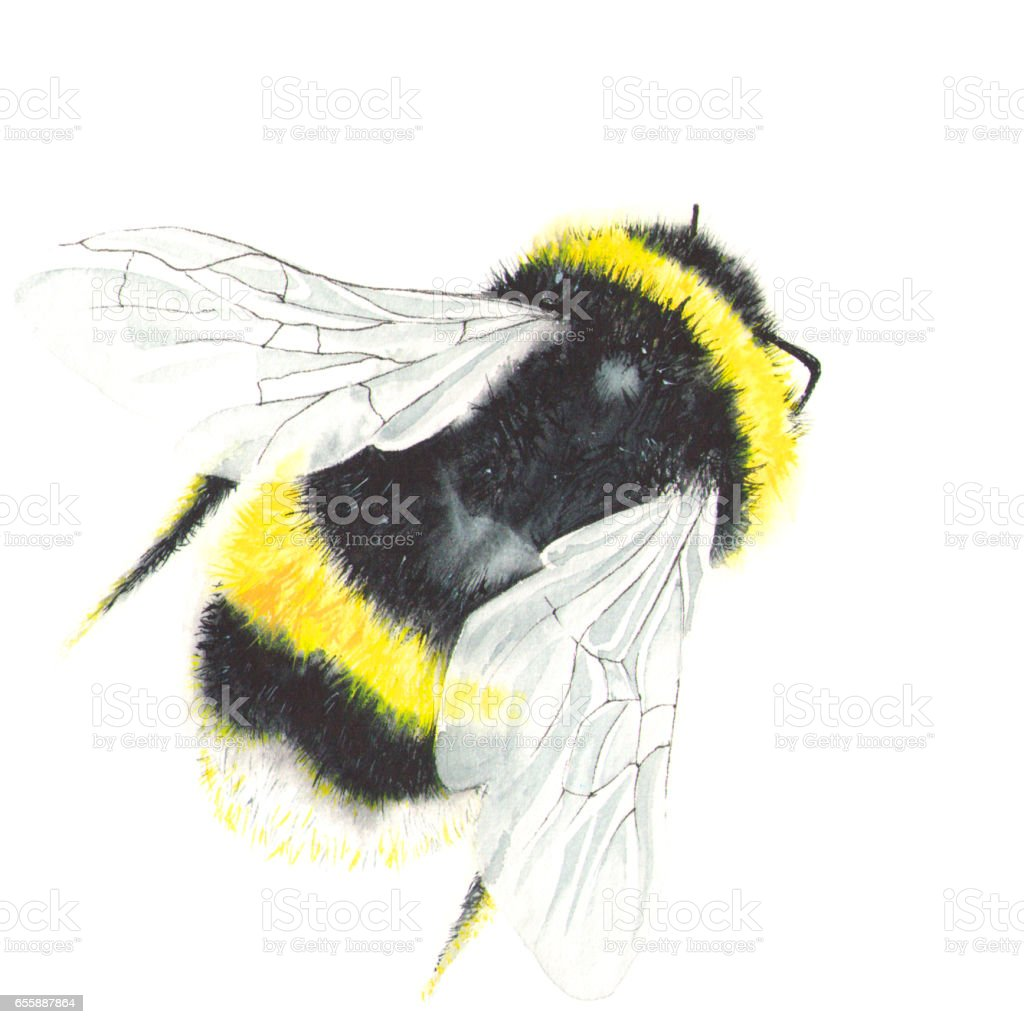 Watercolor bee isolated on white stock photo