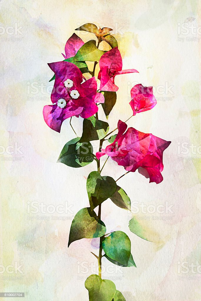 Watercolor Bougainvillea flowers stock photo
