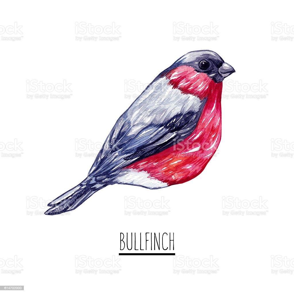 Watercolor bullfinch. stock photo