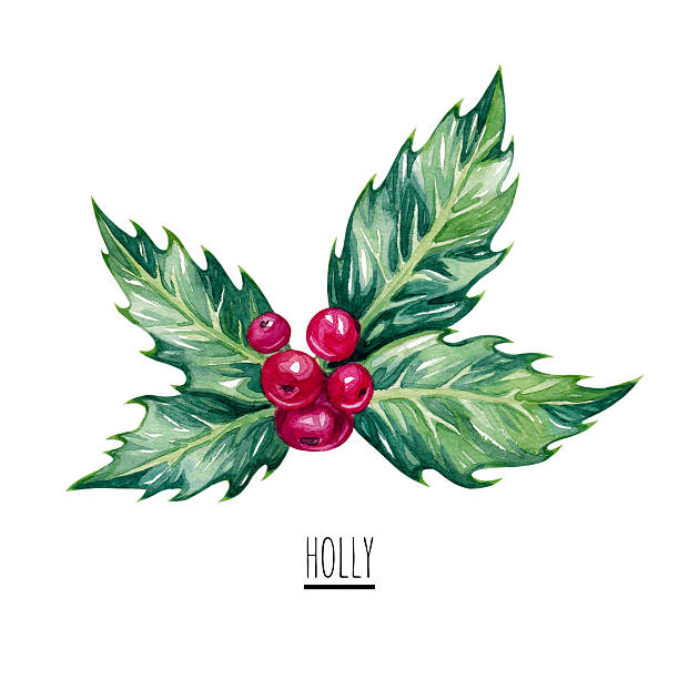 watercolor christmas holly. - clip art stock photos and pictures