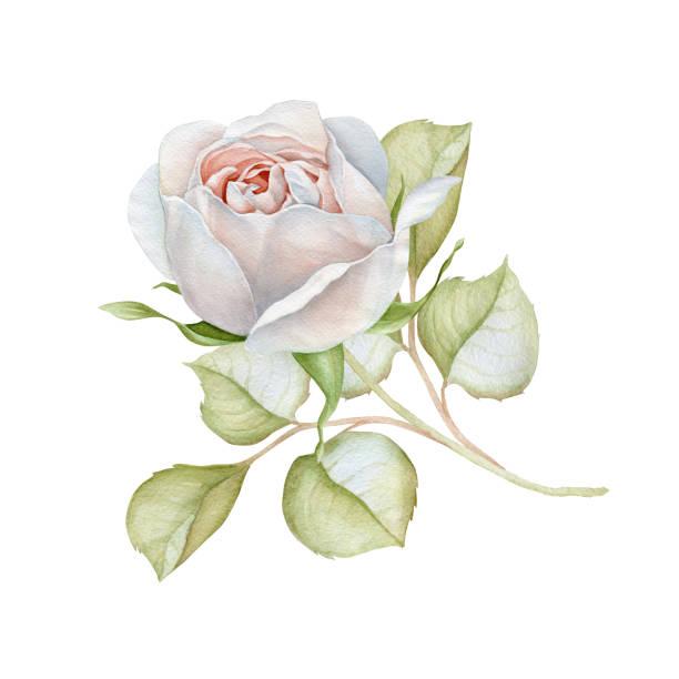 Watercolor delicate white rose picture id831210362?b=1&k=6&m=831210362&s=612x612&w=0&h=8univaljzku13usaxu5958lgy9rc0lkp0ef03ekljmy=
