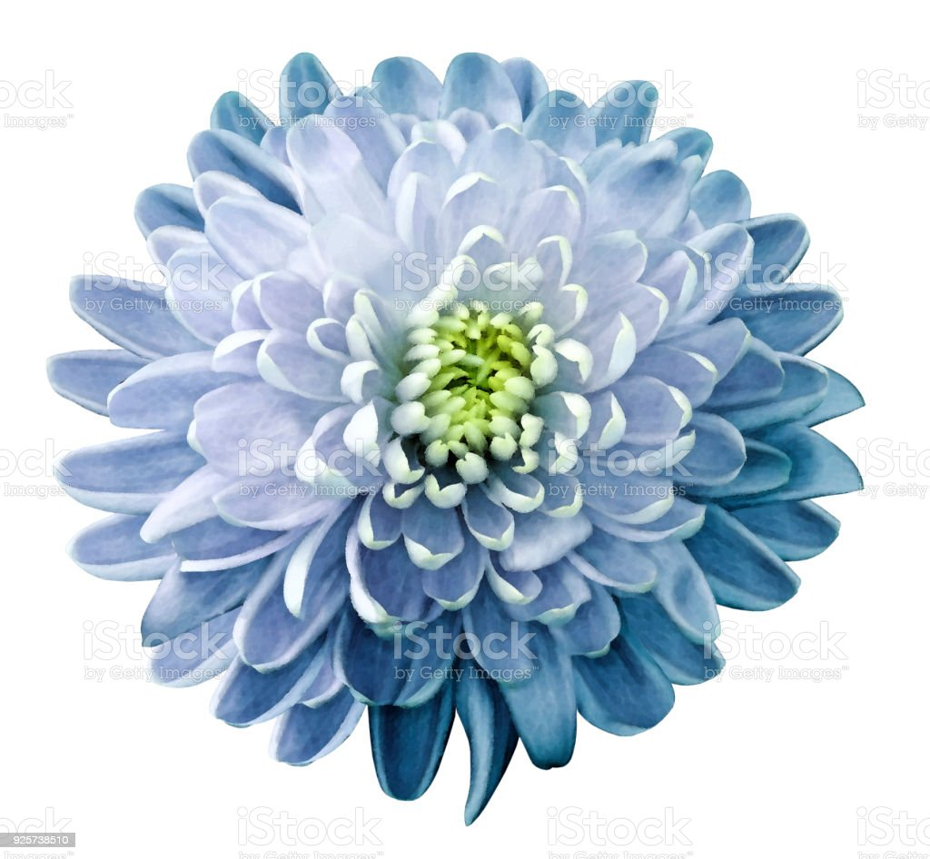 Watercolor Flower Chrysanthemum Whiteblue On A White Isolated