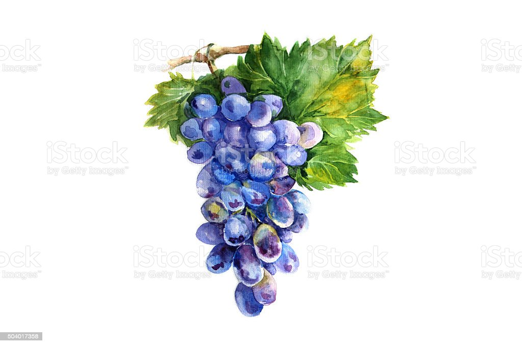 Watercolor grapes branch on white backgroun stock photo