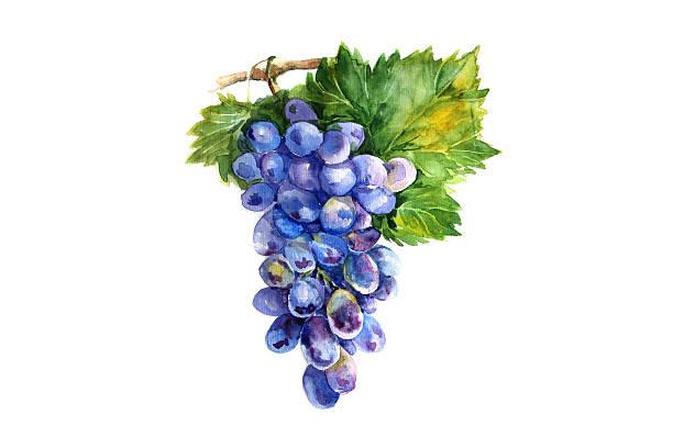 Watercolor grapes branch on white backgroun stock photo
