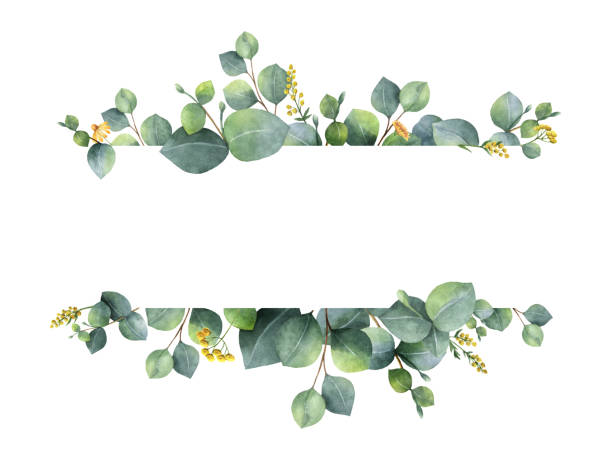 watercolor green floral banner with silver dollar eucalyptus leaves and branches isolated on white background. - naturopathy stock photos and pictures