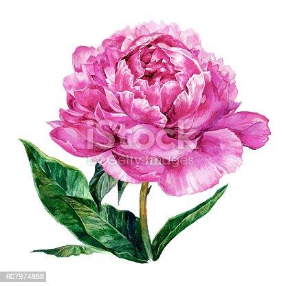 istock Watercolor hand drawn illustration of pink peony 607974888
