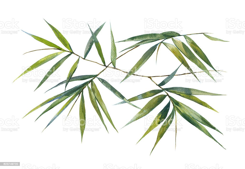 Watercolor illustration painting of bamboo leaves stock photo
