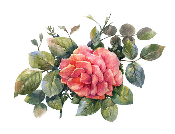 Watercolor painting of rose illustration picture id613053534?b=1&k=6&m=613053534&s=612x612&w=0&h=2dhb8n75lr2rh2uehvnkmn k knl mekkzhp0nlb4j0=