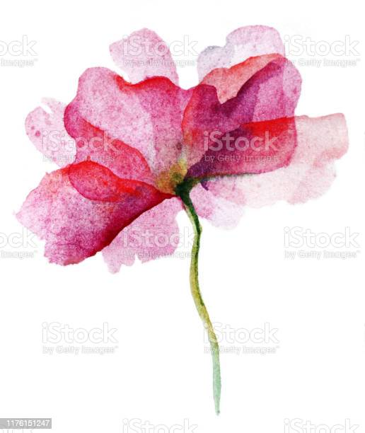 Watercolor pink flower rose on white background picture id1176151247?b=1&k=6&m=1176151247&s=612x612&h=em5ftilsk2xv jy tbn7srlpvag ref pegy2lkdxtk=