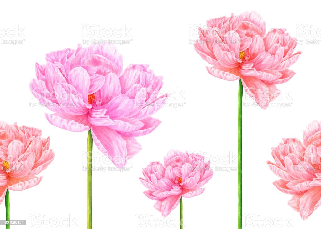 Watercolor Pink Peony Botanical Art Template For A Business Card