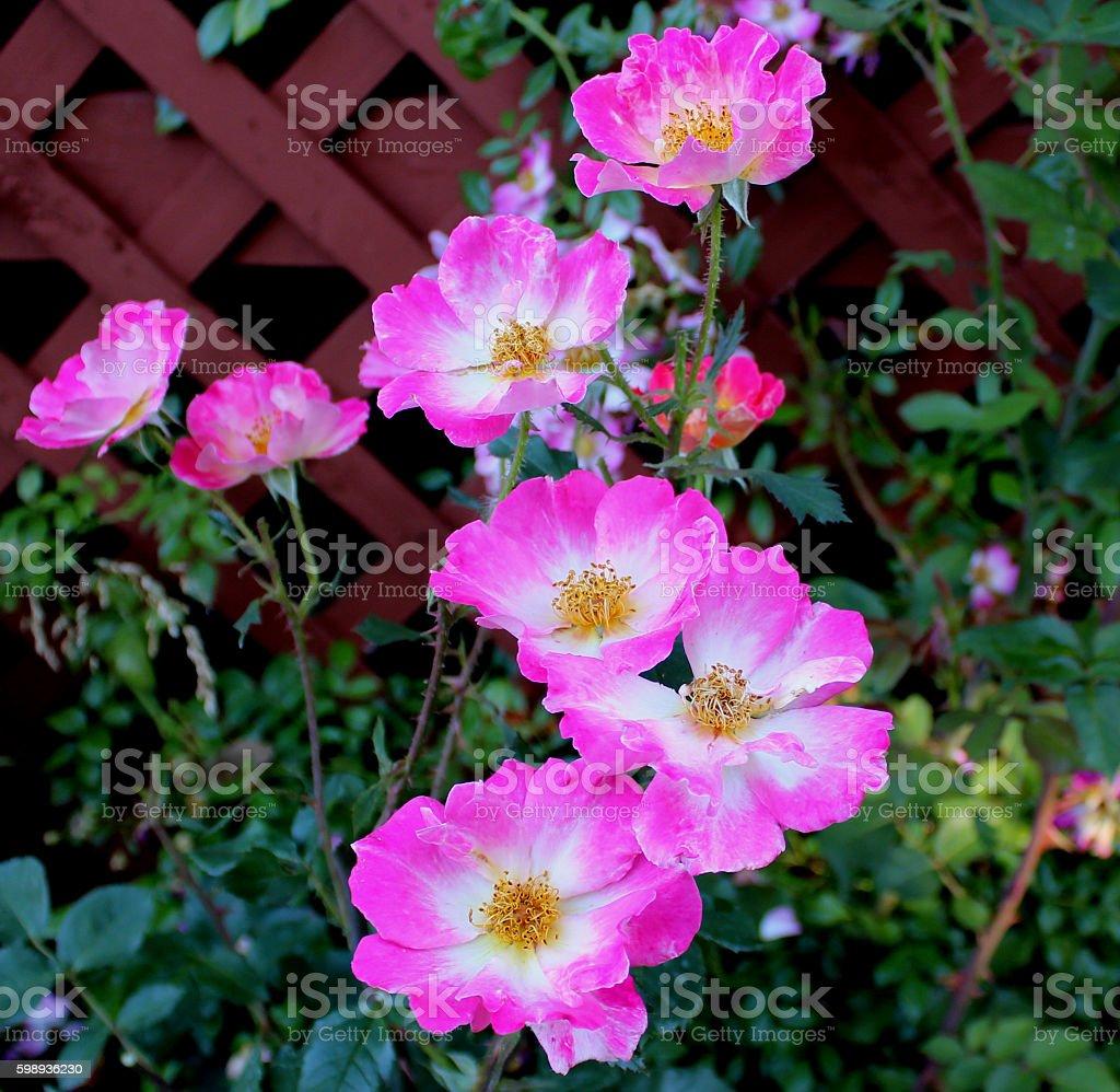 'Watercolors Home Run' A Surreal Rose stock photo