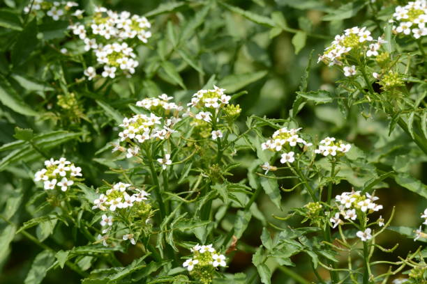 Watercress flowers – zdjęcie