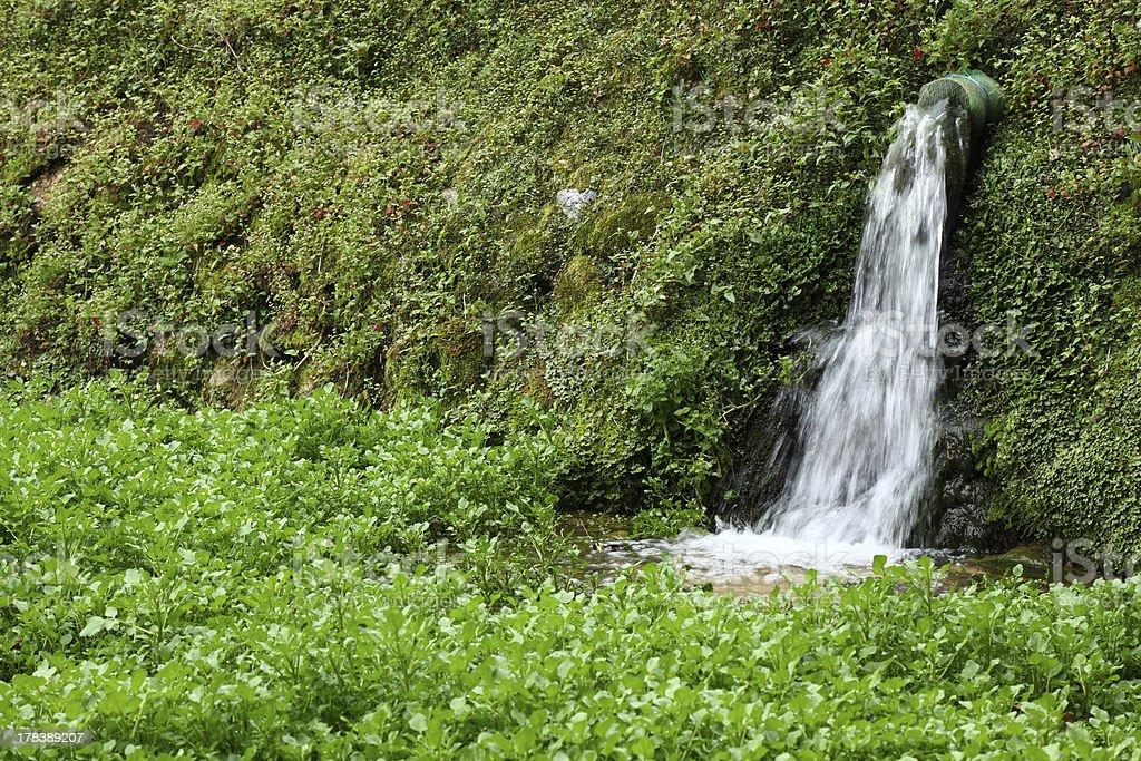 Agrião crescendo em lago - foto de acervo